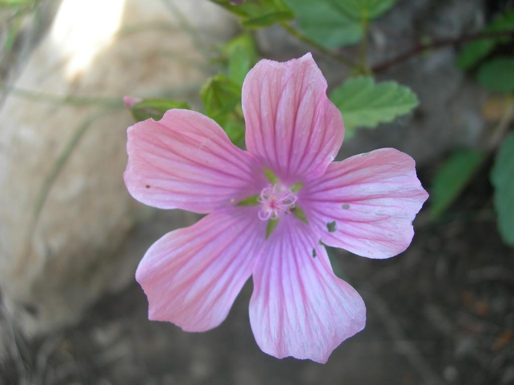 erodium      becco di gru