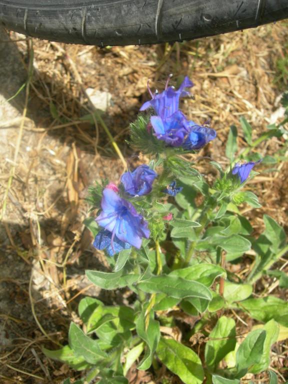 echium plantagineum   erba viperina