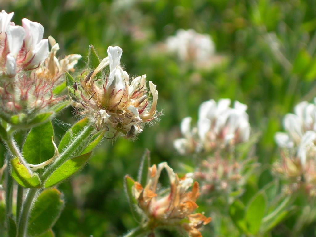 dorycnium hirsutum     trifoglino irsuto