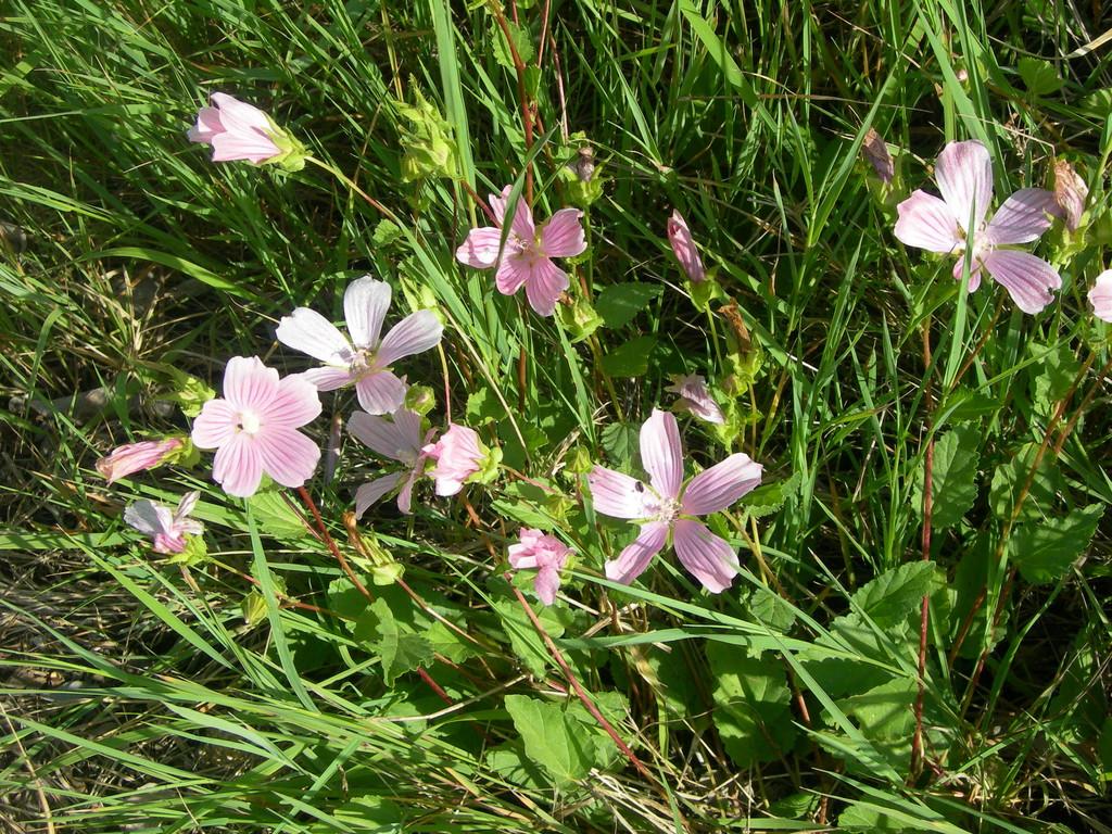 erodium malacoides      becco di gru