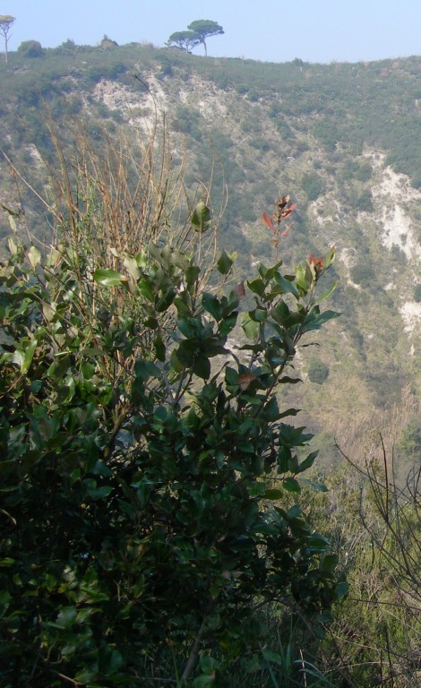 phillirea latifolia
