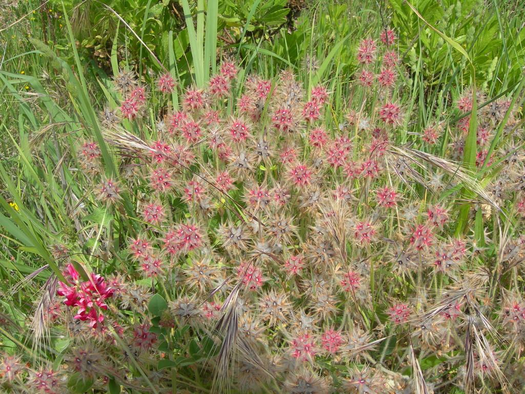 trifolium  stellatum   trifoglio stellato
