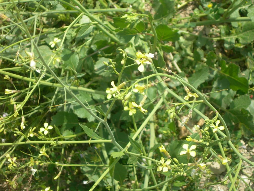 raphanus raphanistrum   ravanello selvatico