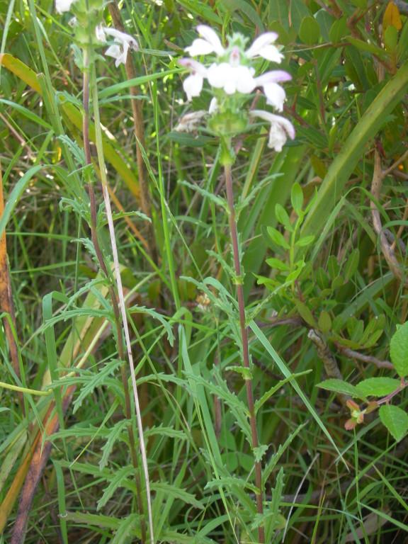 bellardia trixago ---perlina minore
