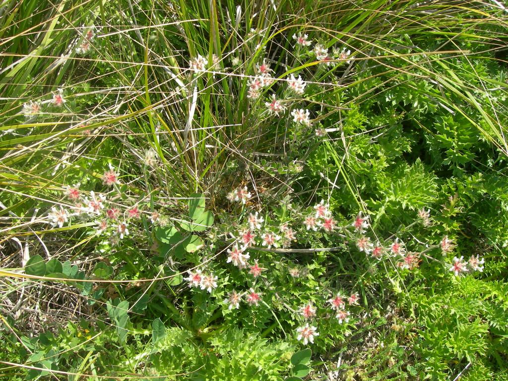 doricnium       trifoglino irsuto