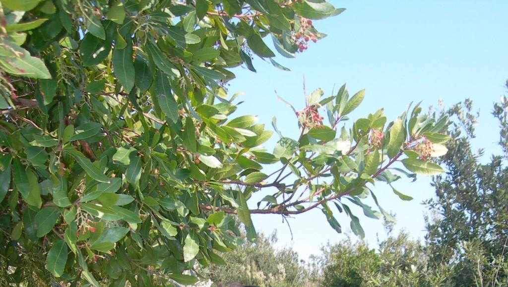 arbutus unedo    --  corbezzolo