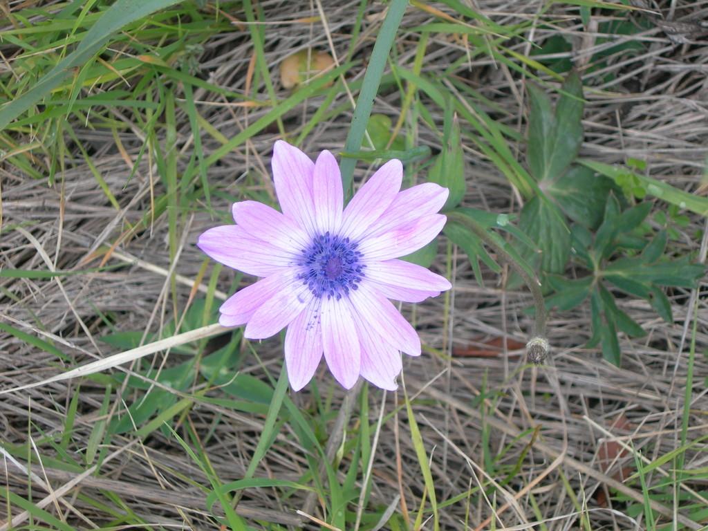 anemone  hortensis