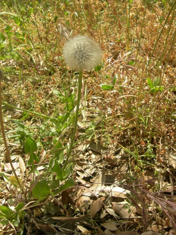urospermum delechampi   soffione maggiore