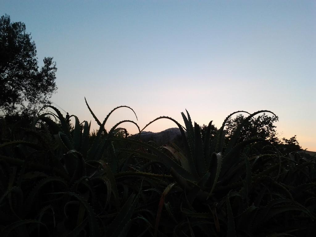 Coltivazione di Aloe arborescns