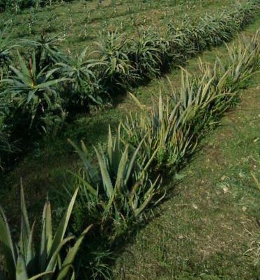 Campo Madre Aloe vera