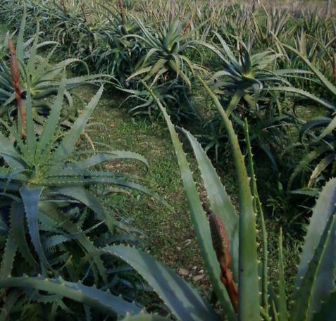 Campo Madre Aloe arborescens