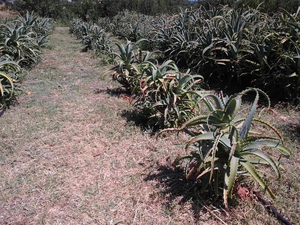 Coltivazione di Aloe arborescens