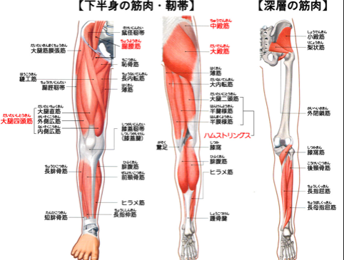 下肢の筋肉が膝に影響します。