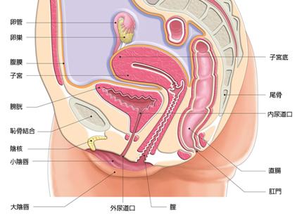 骨盤がゆがむと、骨盤内の内臓が圧迫されて膀胱が十分にふくらまなくなって頻尿や尿失禁の原因となってしまいます。