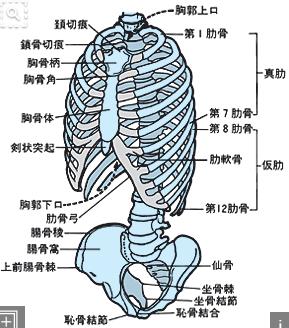 胸郭と骨盤の骨