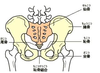骨盤は仙骨・腸骨・恥骨・坐骨・尾骨で構成されています。