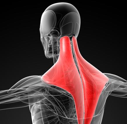首の関節がずれると、肩の筋肉に力を入れて頭を支えます。これが慢性的な肩こりの原因になります。