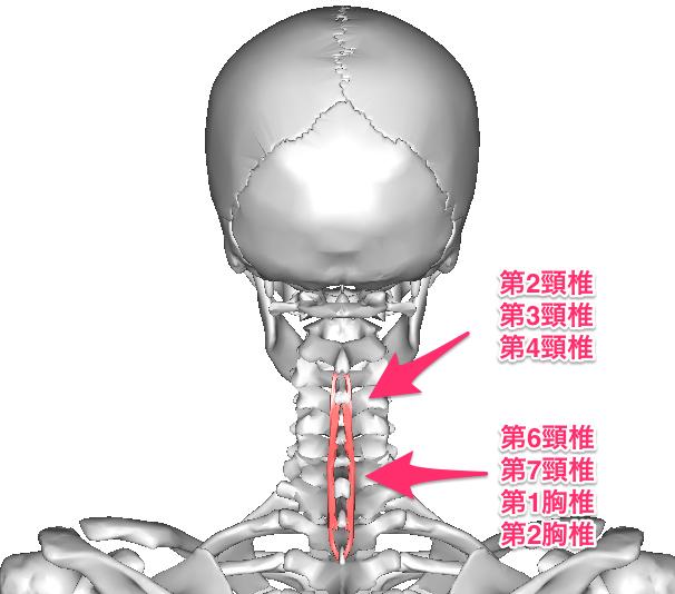 第7頚椎と第1胸椎の関節を頚胸椎移行部といいます。この部位の関節がずれると頭が不安定になるので、頭を安定させる為に首の付け根から肩甲骨にかけて強くこります。