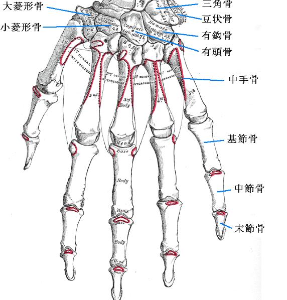 指の骨は基節骨(きせつこつ)、中節骨(ちゅうせつこつ)、末節骨(まっせつこつ)で構成されています。これらの骨をつなぐ関節がずれると指の痛みの原因となります。