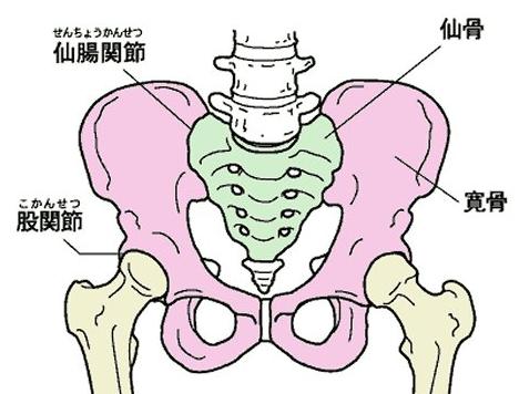 ピンク色の部分が寛骨(かんこつ)です。左右のこの寛骨が拡張すると、足の付け根の痛みの原因になります。この場合、骨盤矯正で寛骨を正常に戻す必要があります。