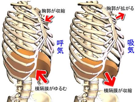 呼吸時の胸郭(きょうかく)と横隔膜(おうかくまく)の動き