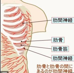肋骨と肋間神経