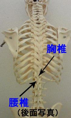 胸椎と腰椎の境目である胸腰椎移行部(きょうようついいこうぶ)は負担がかかり痛めやすい部位です。