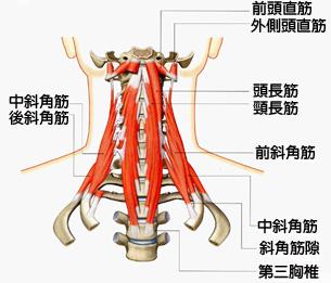 首の骨には頭を動かしたり支えたりする為にいろいろな筋肉がつながっています。首の骨がずれると筋肉にテンションがかかりますので、それが首の張りとして感じます。