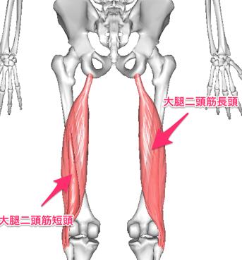 この筋肉は太ももの後ろ側にある筋肉ですが、同様に骨盤がゆがむと筋肉が引っぱられることによって膝に痛みがおこります。