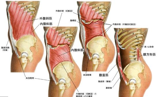 骨盤から胸郭につながる筋肉