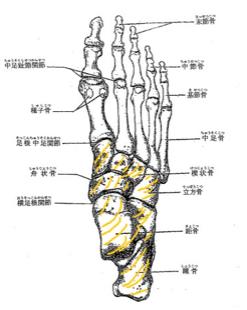 足の甲は、いくつかの小さな骨で構成されています。