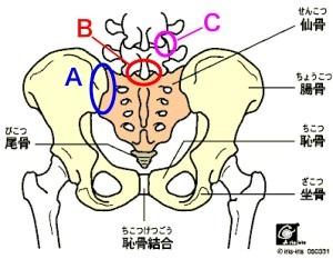 Aの部分が仙腸関節です。仙腸関節がずれると強い腰痛の原因となります。またCの部分は椎間関節といってこの部分がずれても強い痛みの原因となります。