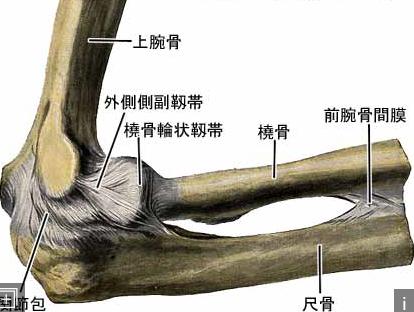 肘関節 外側の靱帯(じんたい)