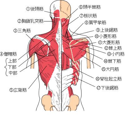 背中にはたくさんの筋肉が骨格につながっていますので、骨格がゆがむと筋肉は引っぱられたりねじれたりして張り感の原因となります。背中の張り感の改善・消失には骨格のゆがみを正常に戻す必要があるのです。