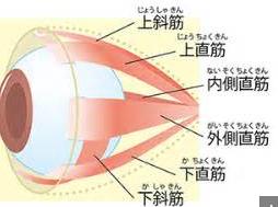眼球を動かす筋肉です。