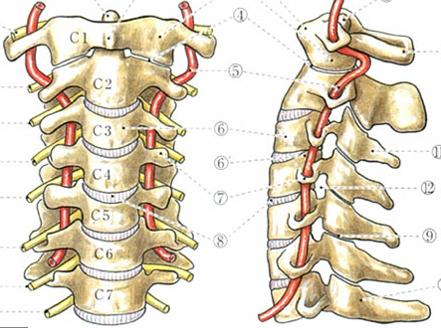 Cはcervical vertebraeの略で頚椎という意味です。1~7まであります。頚椎の中を通っている赤い部分が椎骨動脈です。このような構造ですので、頚椎がずれると脳にいく血流が減少してしまいます。