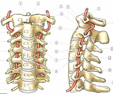 赤いチューブ状のものが椎骨動脈です。頚椎がずれると椎骨動脈は圧迫されてしまいます。