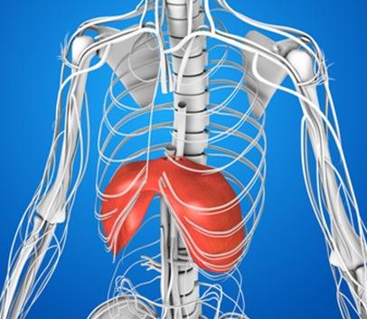 横隔膜は胸郭の下にあります。
