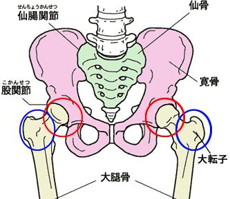 ピンク色の部分が寛骨です。寛骨には大腿骨(太ももの骨)がつながっています。