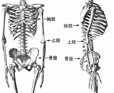 骨盤の上に背骨があり、背骨の胸の部分で胸郭(きょうかく)を構成しています。
