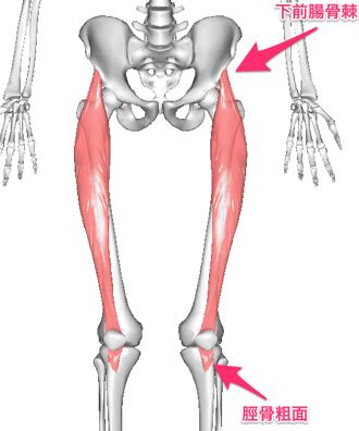 図1 太ももの前の筋肉は骨盤から膝につながっています。骨盤がゆがむと筋肉が引っぱられて膝の筋肉がつながっている部位に痛みがおこります。