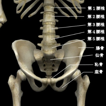 牽引で腰を引っぱると、骨盤の関節や腰椎の関節に関節が抜ける力が働きます。