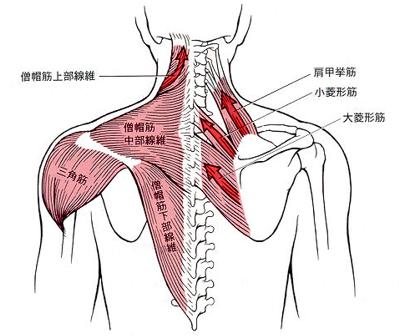 首の関節がずれると、僧帽筋や肩甲挙筋に力を入れて、不安定になった頭を安定させる補助をします。そうすると肩がこったと感じます。