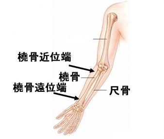 肘から手首までの前腕には橈骨と尺骨の2本の骨があります。