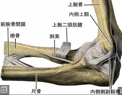 肘関節の内側の靱帯(じんたい)