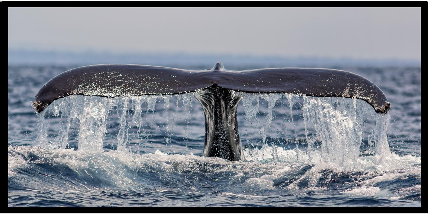 La queue de baleine