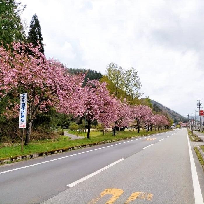 道の駅ひだ朝日村の八重桜2