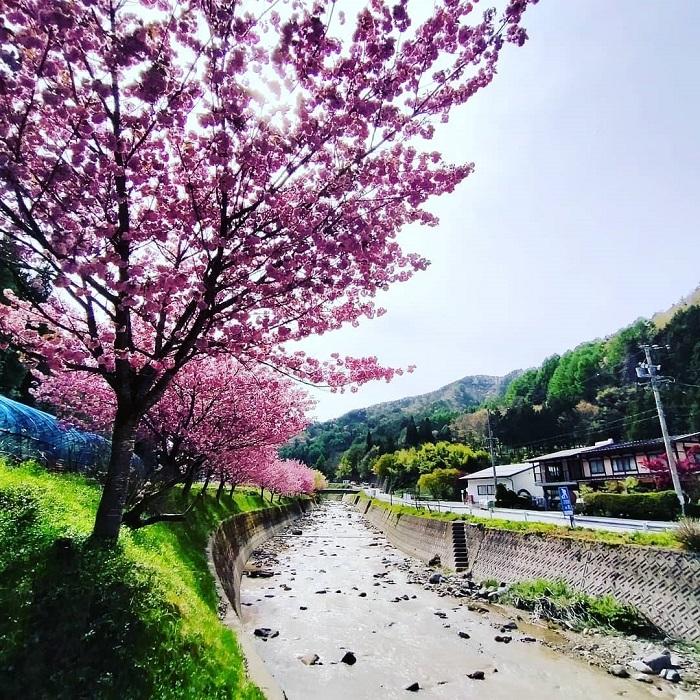 西洞川の八重桜が見ごろ