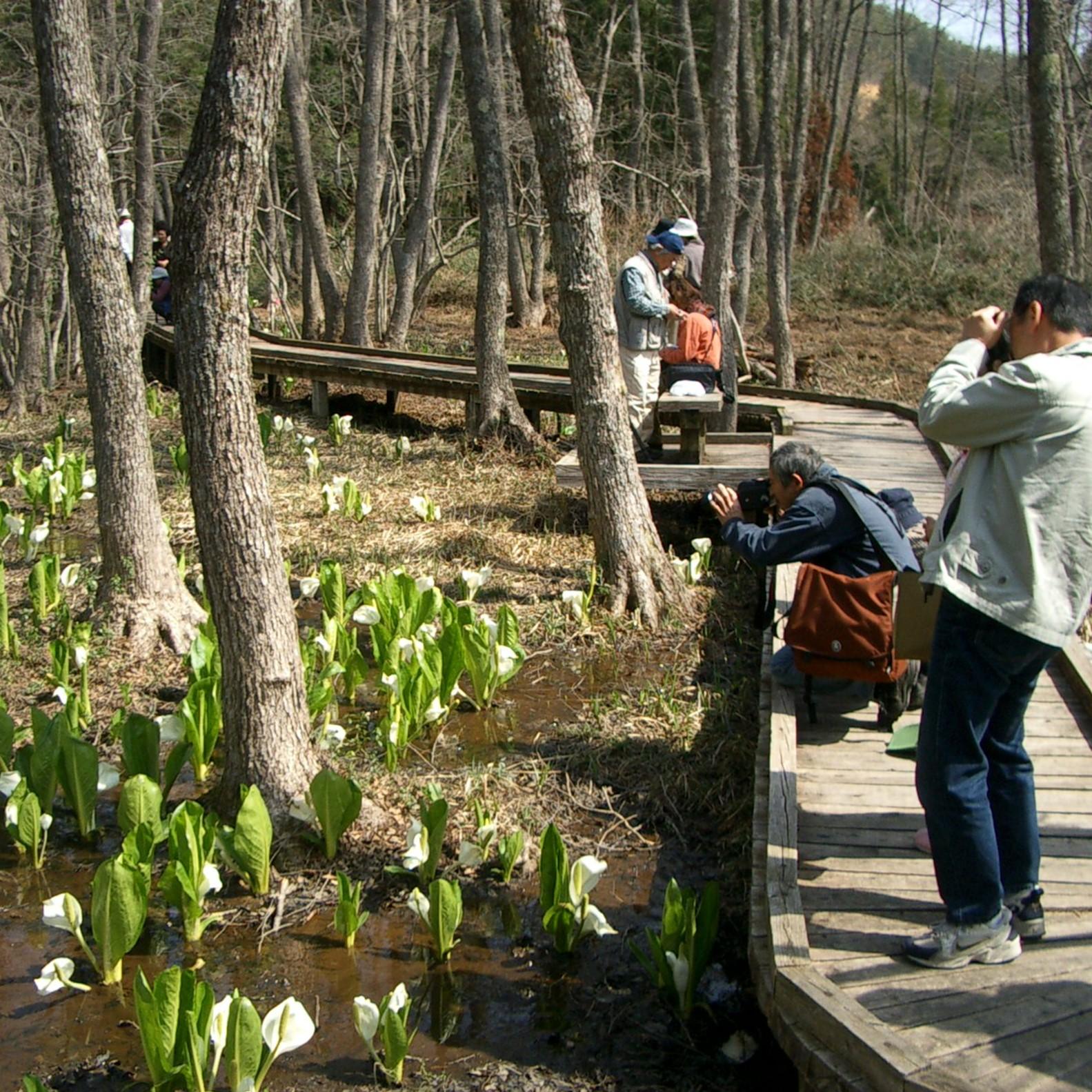 美女ケ池周辺には春(4月中旬~下旬)に水芭蕉が咲く