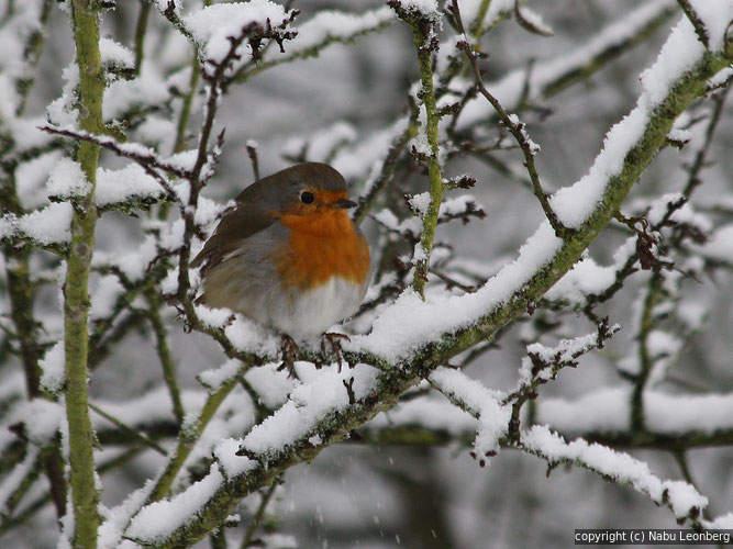 Rotkehlchen im Winter